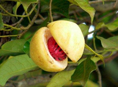 arbol-de-nuez-moscada-Myristica-fragans