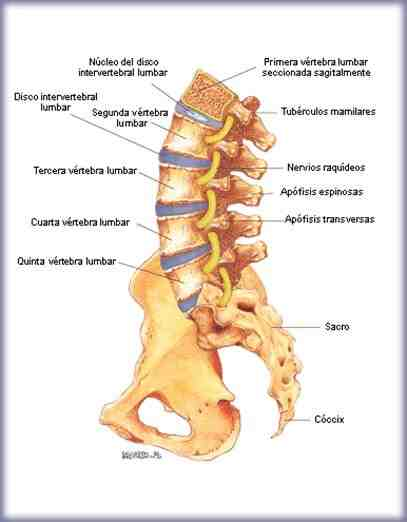 vertebral lumbar: