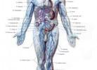 anatomia-sistema-venoso