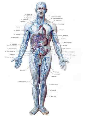 flebotomia-anatomia-sistema-venoso