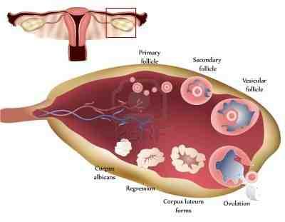 ciclo-menstrual-ovario