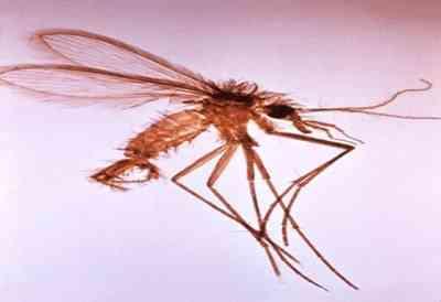 leishmania-mosquito-flebotomineo