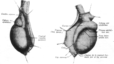 testiculo-epididimo
