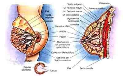 anatomia-mama